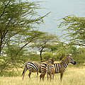 Zebras in Kenia © Brent Stirton / Getty Images