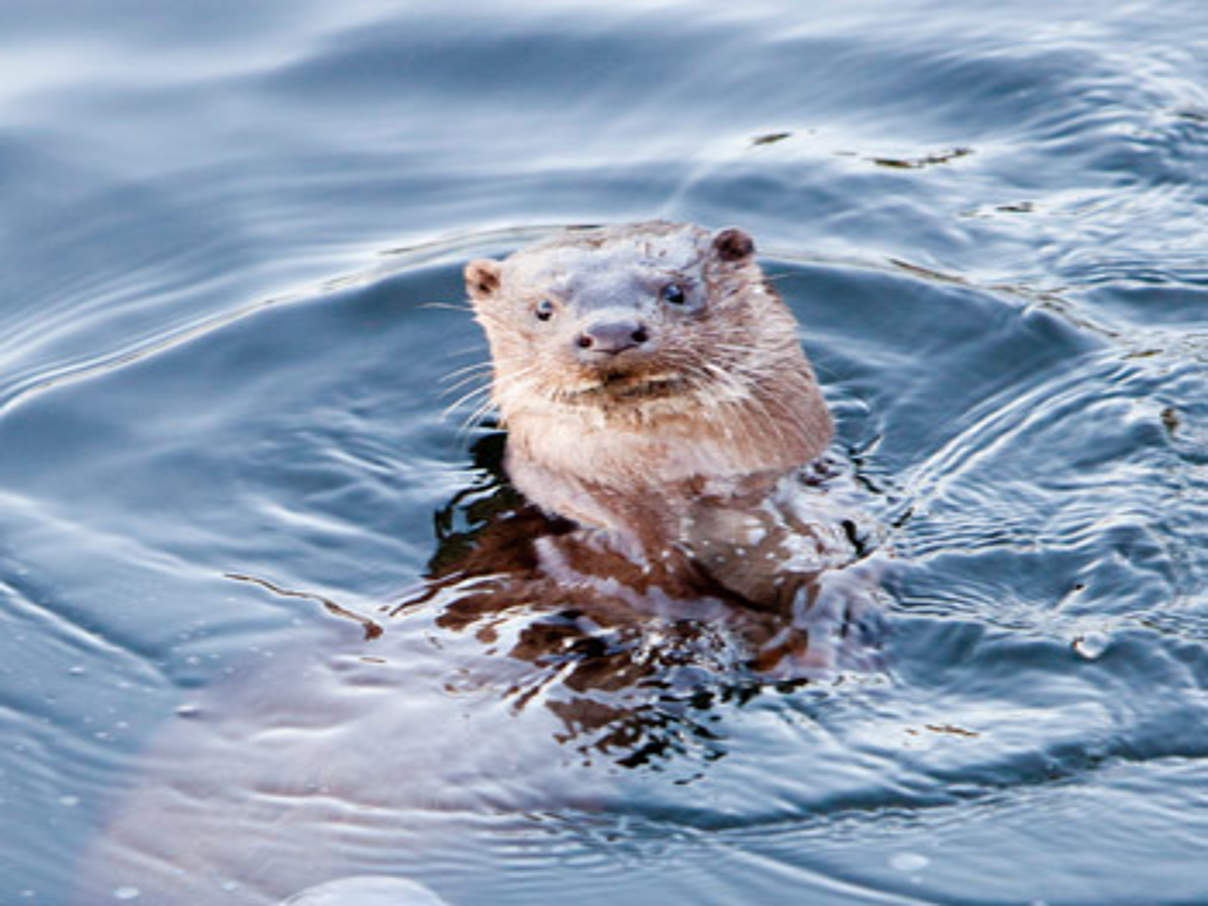 A European Otter (Lutra lutra) diving under ice on Lake Winderme