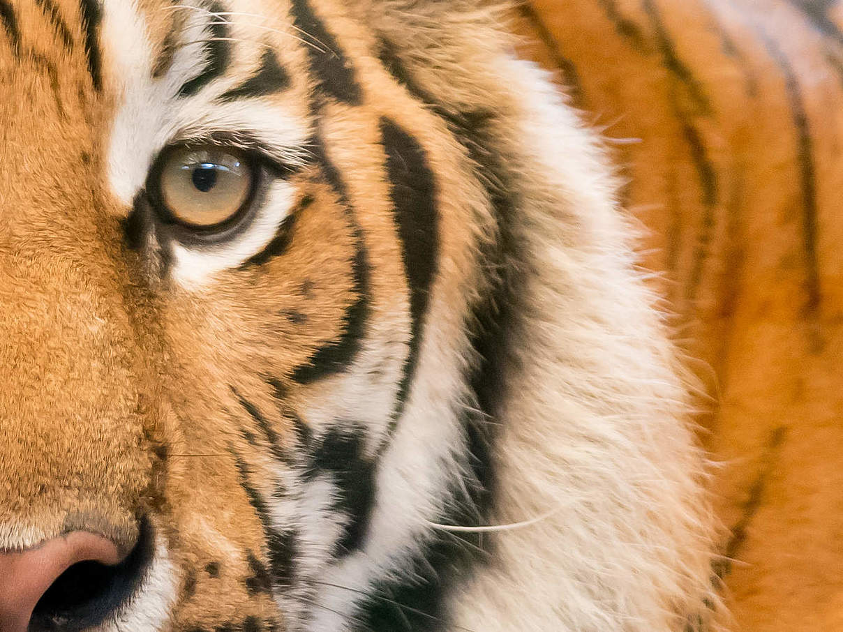 Tiger © ThinkstockPhotos
