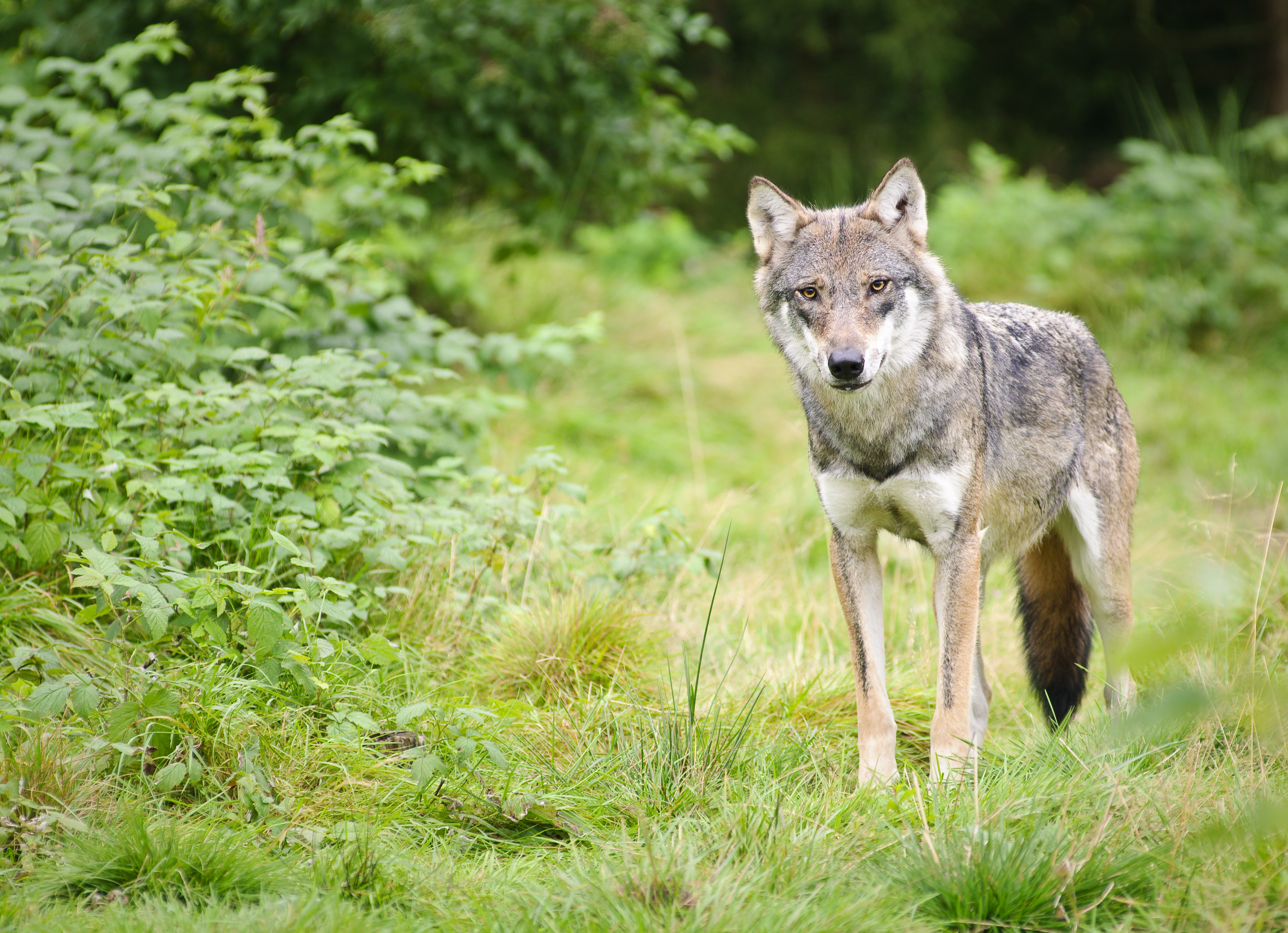 Wolf © iStock Getty Images