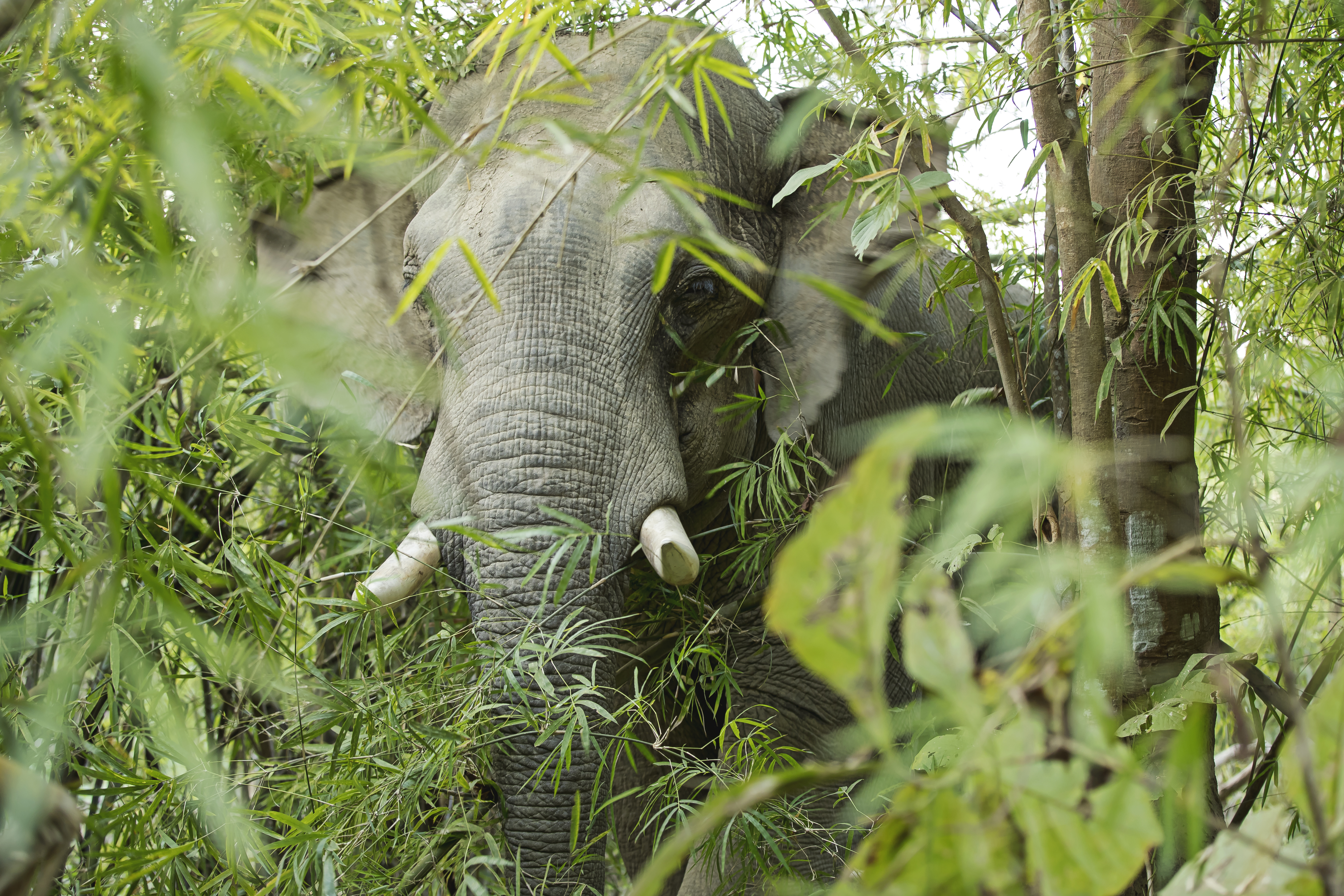 Elefant in Myanmar © Julia Thiemann / WWF-Germany